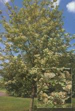 Sorbus aria Lutescens