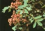 Sorbus hupensis