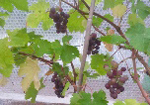 the editor's grape harvest!