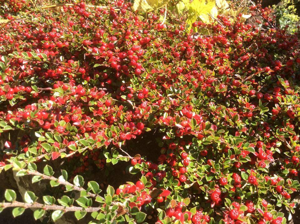 cotoneaster-berries
