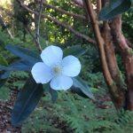 euchrypia-white