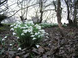 snowdrops at Craigmillar